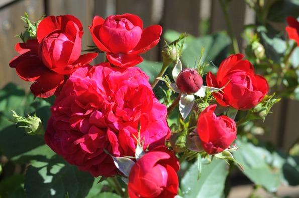 Röd ros1