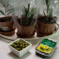 Planterade sticklingar av olivträd