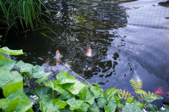 Fiskarna-i-dammen
