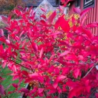 Först bjuder busken på ljuvliga blåbär, sen en underbart vacker röd färg... naturens under