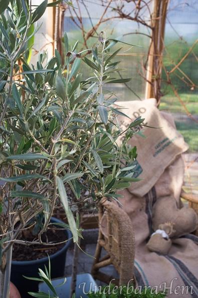 Olivträd-korgstol