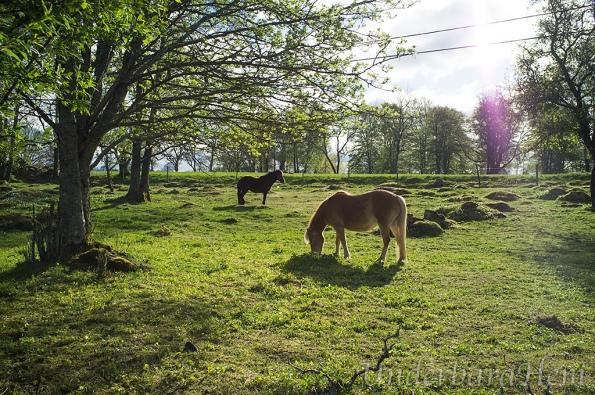 Hästar-vid-Hofsnäs