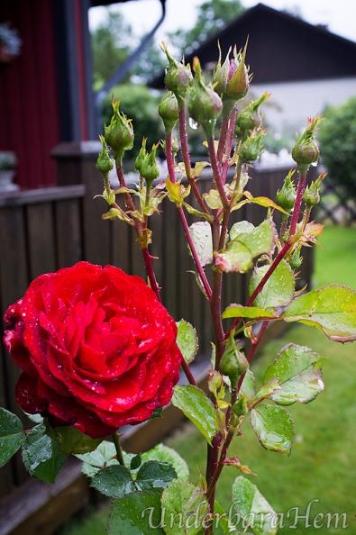 Röd-ros-med-regndroppar