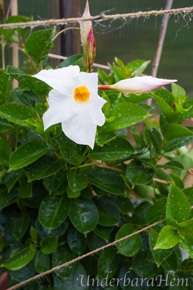 Regn-på-vit-blomma