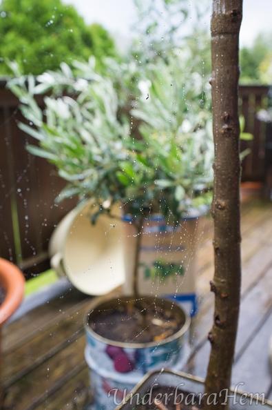 Spindelnät-i-olivträdet