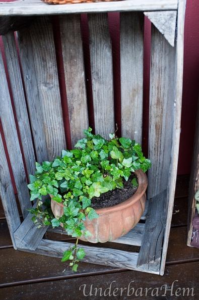 Murgröna-i-trälåda