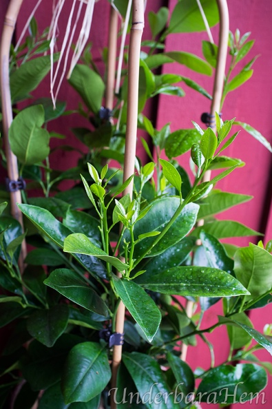 Växande-apelsinträd