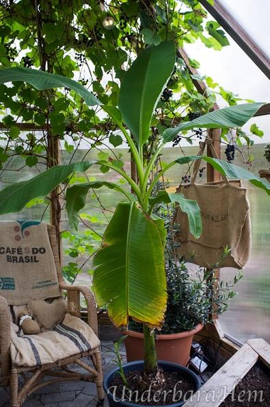 Banan-planta2014