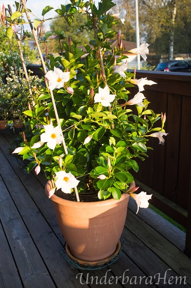 Vit-blomma-på-altanen