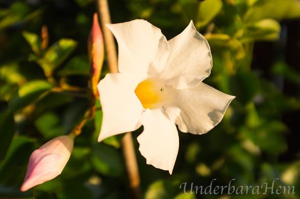 Vit-blomma-på-altanen3