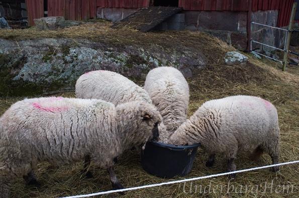 Mums-i-fårhagen