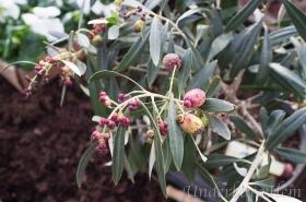 Olivträd-med-oliver-mars-2015