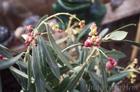 Olivträd-med-oliver-mars