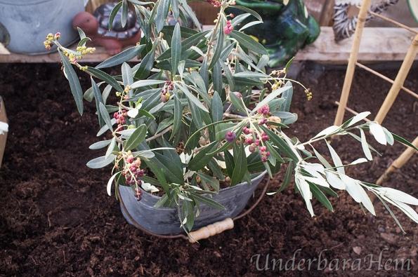 Olivträd-med-oliver2015