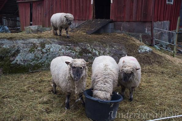 Tre-får-äter