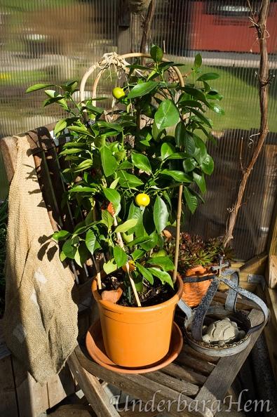 Citrusträd-i-växthuset2015