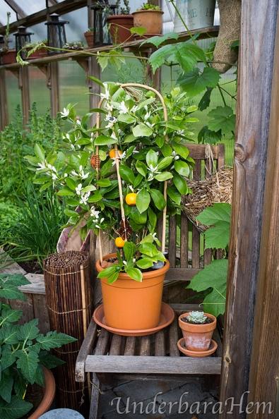 Apelsinträd-i-växthus