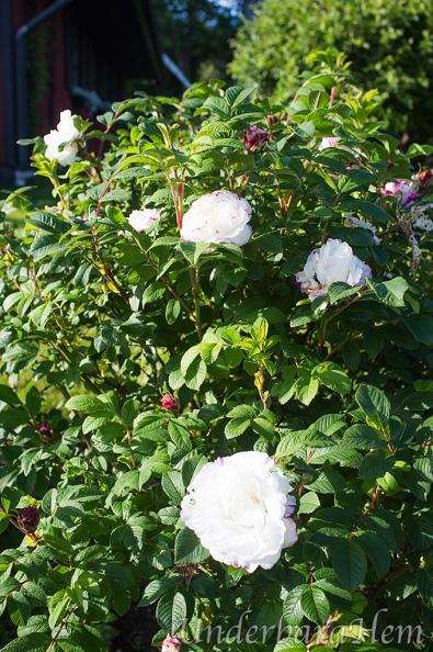 Vit-rosenbuske