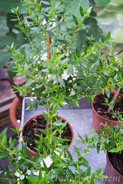 Myrsine-med-blommor