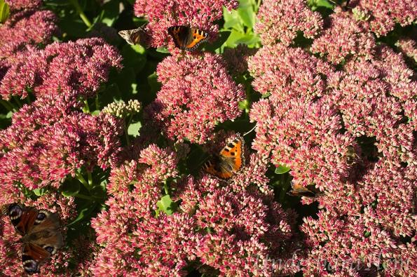 Fjärilar-på-kärleksört2