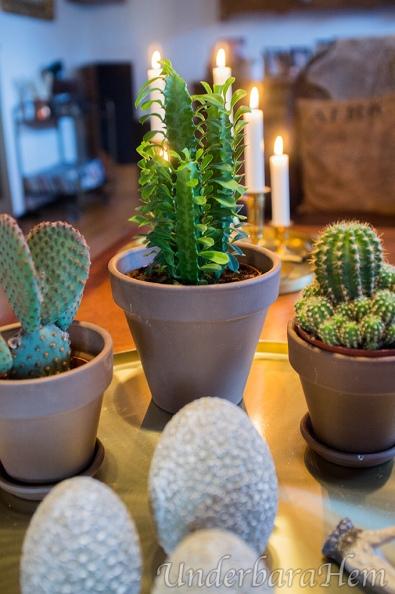 Tre-kaktusar-på-bricka