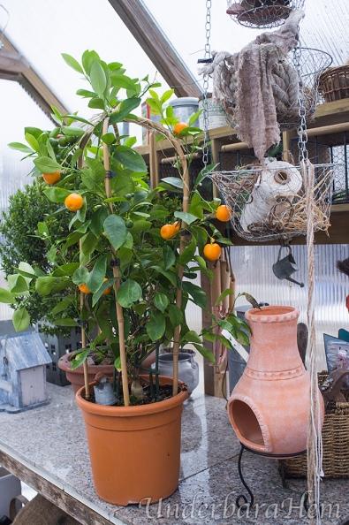 Apelsinträd2016