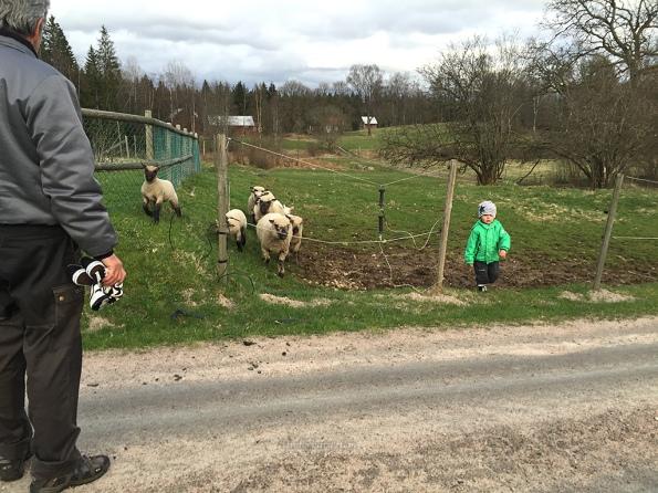 Mille-hämtar-fåren