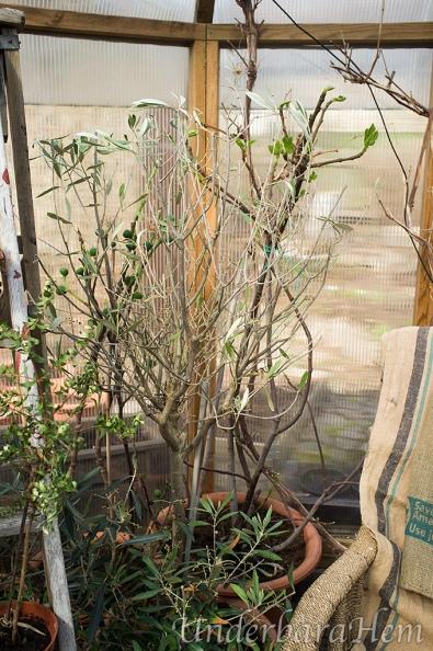 Olivträd-bladlöst