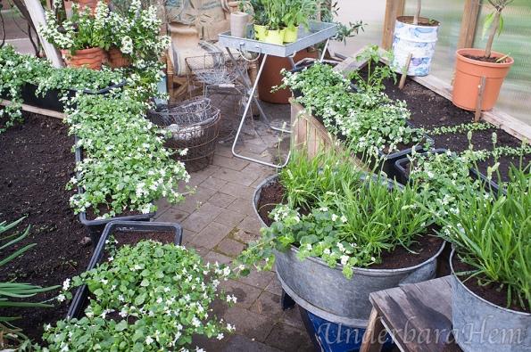 Lavendel-i-växthuset