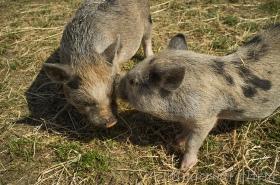 Timon-och-Pumba2