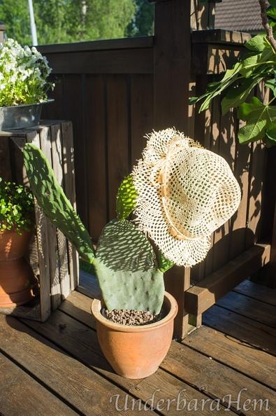 Kaktus-Opuntia-Ficus-indica