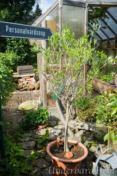 Olivträd-med-blad