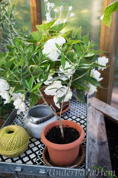 Begonia-och-olivplanta