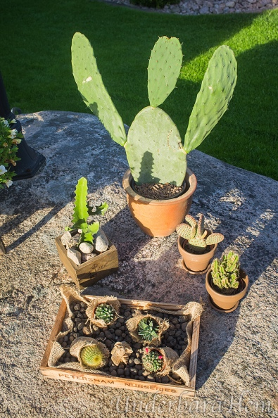 Massa-kaktusar