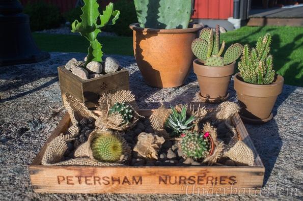 Många-kaktusar