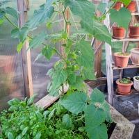 Plantering av äppelkärnor och Physalis!